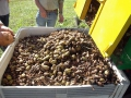 demo-pecan-nut-harvesting-equipment-harvest-01