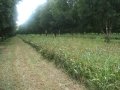 interrow-08-mowen-cover-crop