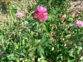 interrow-12-red-clover