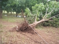 damage-03-ex-cyclone-oswald-uprooted-tree-&-irrigation