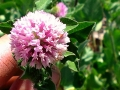 interrow-11-red-clover-flower