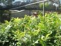 nursery-13-rootstock