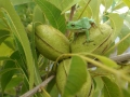 wildlife-02-closer-tree-frog-&-nuts
