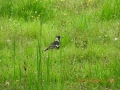 wildlife-03-magpie-on-orchard-floor